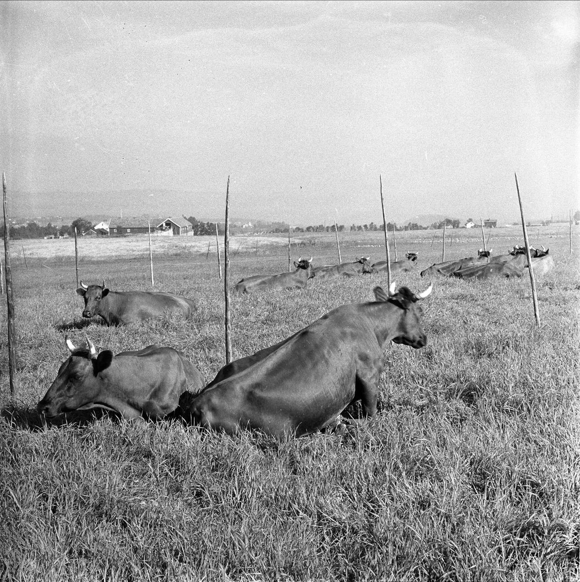 Trøndelag, august 1955. Kuer på beite.