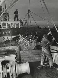 Storsildfiske på Stadthavet med båten Fisk.