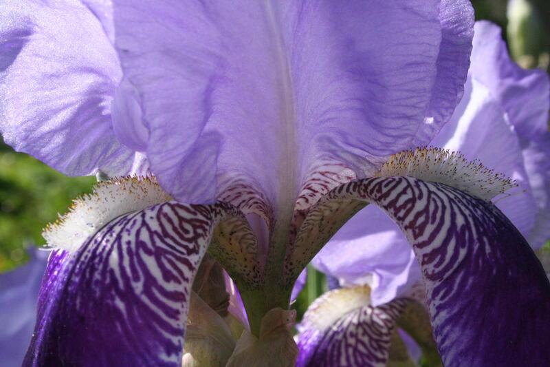 GH 2001 10 Iris x germanica fra Pavestad (Foto/Photo)