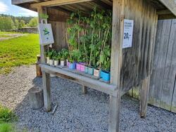 Selvplukk og Vipps-betaling! Kortreiste planter til salgs i sommer. Foto: Line Helstad (Foto/Photo)