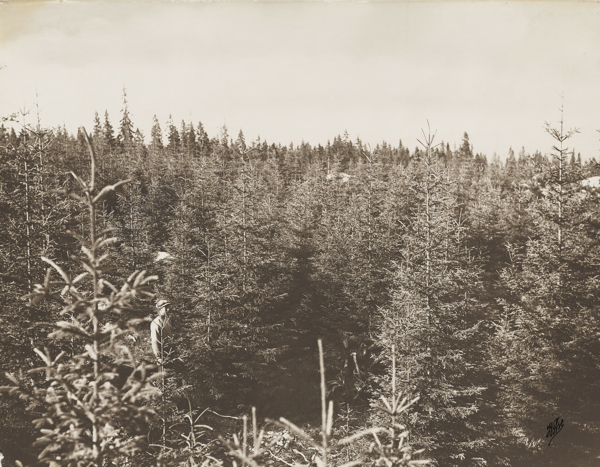 Landskapsbilde av skog. Dokumentasjon av skogplanting og hogstflater.