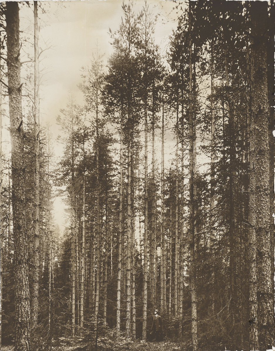 Landskapsbilde av skog, dokumentasjon av hogstflater og plantning av trær. En mann med hatt og slips sees stående nederst i bildet.