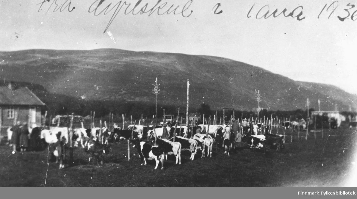Kyr i Tana 1930-tallet. Kyr til salgs. Noen kvinner og menn går og ser på dyrene.