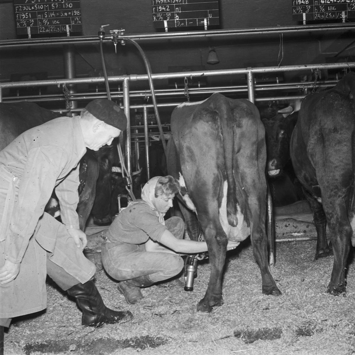 Lantbrukshögskolan, mjölkning, Uppsala 1958