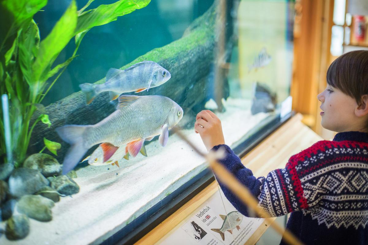 Øyeren-fisk i akvariene på Besøkssenteret.