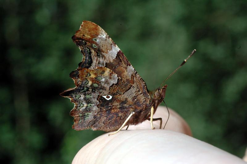 Foto av sommerfuglen Hvit C