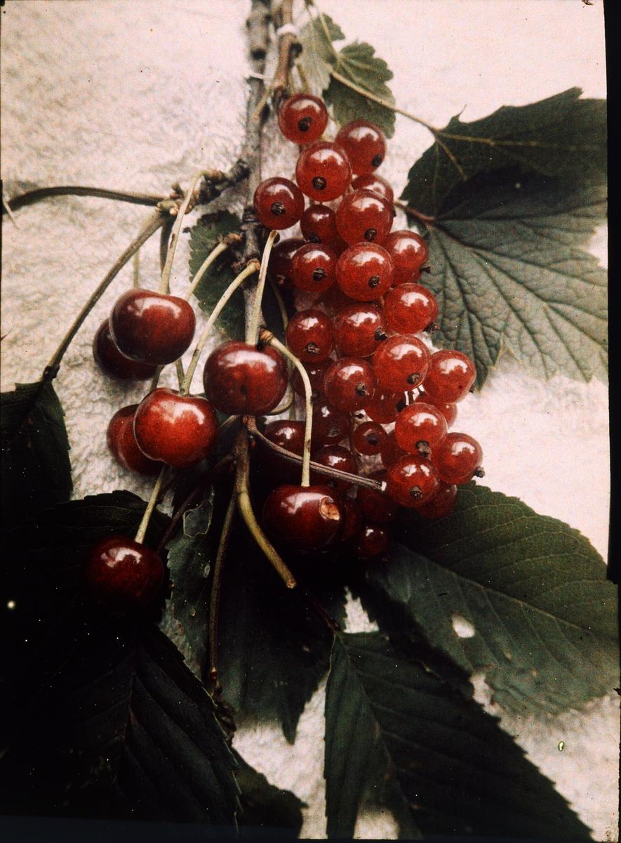 Lumières-autokrom. Stilleben: Körsbär och röda vinbärkrusbär. Arildsläge. Fotograferad i augusti 1912 med f/48, 180 sek. exponering.