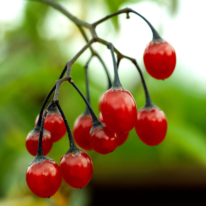 Klase med røde bær som henger ned. (Foto/Photo)
