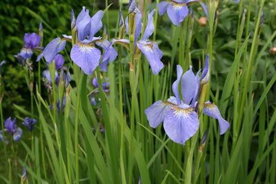 Sibiriris/Iris sibirica