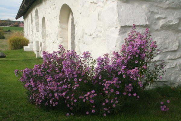 Rosa høstasters. Foto/Photo