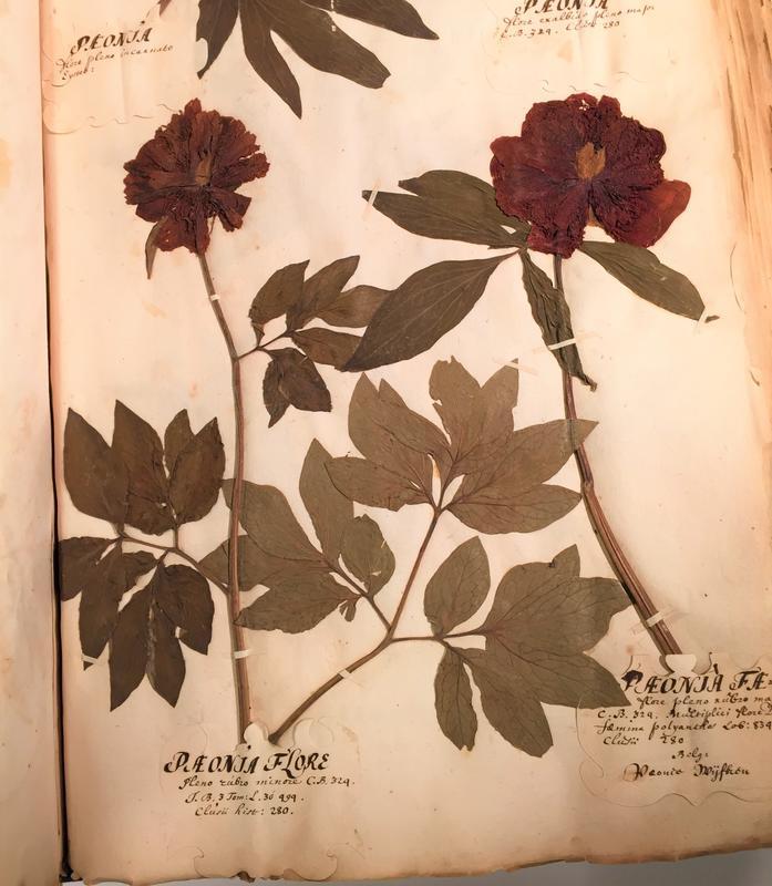 Disse pionene har vokst i den botaniske hagen i Leiden i Nederland på slutten av 1600-tallet. Her er den lille pionen til venstre, og på denne tida ble den kalt «Paeonia flore pleno rubro minore», noe som betyr noe slikt som «pion med fylt blomst, rød og liten». Til høyre er et eksemplar av den vanlige røde bondepionen Paeonia 'Rubra Plena', som betyr «rød, fylt pion»