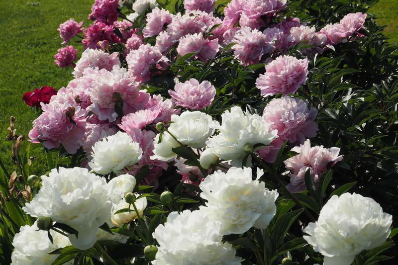 Silkepioner, Paeonia lactiflora