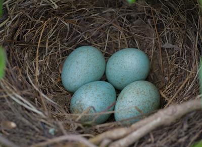Foto av fuglerede med egg oppi