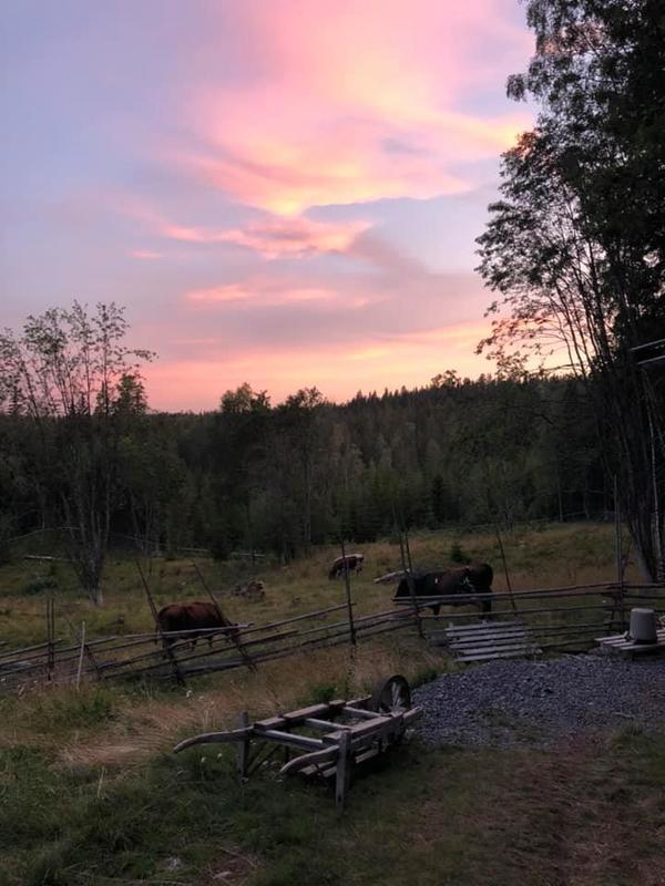 Solnedgang, Skålbergsætra, kyr, sætervangen