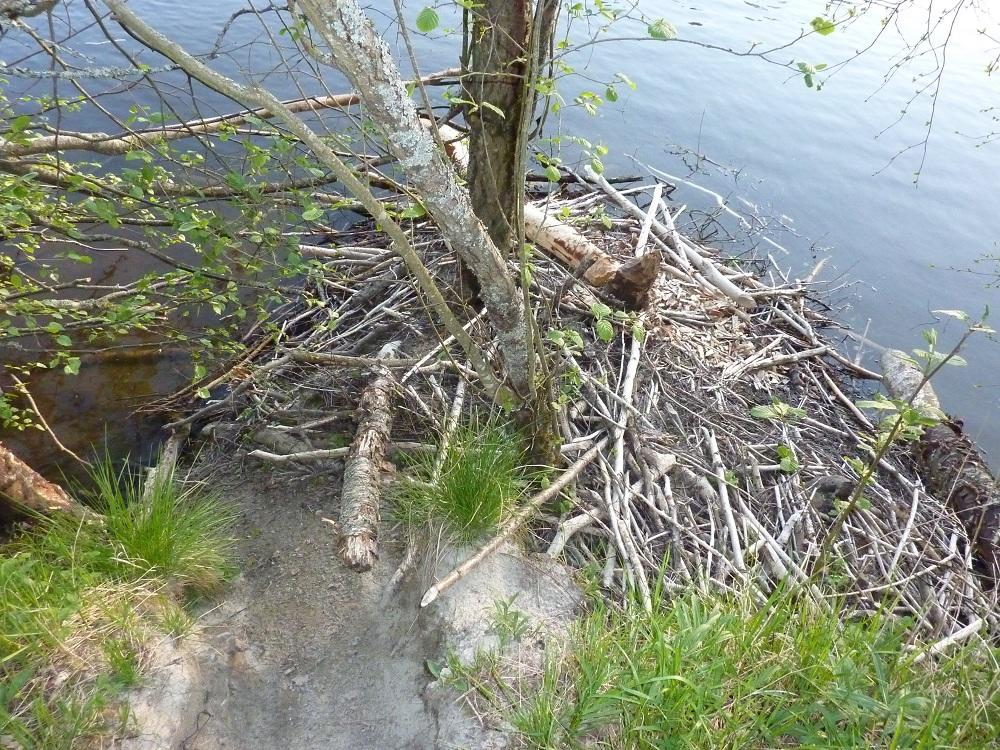 Foto av beverhytte langs Jørholmen