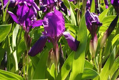 Iris_aphylla_s22_1.jpg