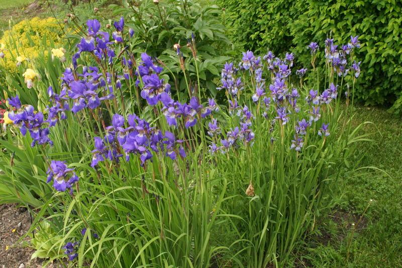 Her ser vi to ulike sibiriris. Den til venstre er høyere og har mørkere blomst. Den har mange trekk fra den asiatiske Iris sanguinea. Den til høyre er lavere, med lysere blomst. Den ligner på den rene arten Iris sibirica. Begge har blader som bøyer seg lett nedover.
