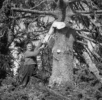 Uke 17: Visste du at skogforskningen er 100 år i år? I forbindelse med hogstundersøkelsen gjort av Det norske skogforsøksvesen i 1965 ble skogsarbeider Gustav Tallakstad fotografert i Treschow Fritzøes skog i Lardal, Vestfold. Foto: Tor Inderberg, Det norske skogforsøksvesen (Nibio)/ Norsk Skogmuseum.