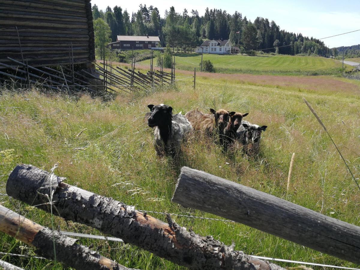 Almenninga, sauer (Foto/Photo)