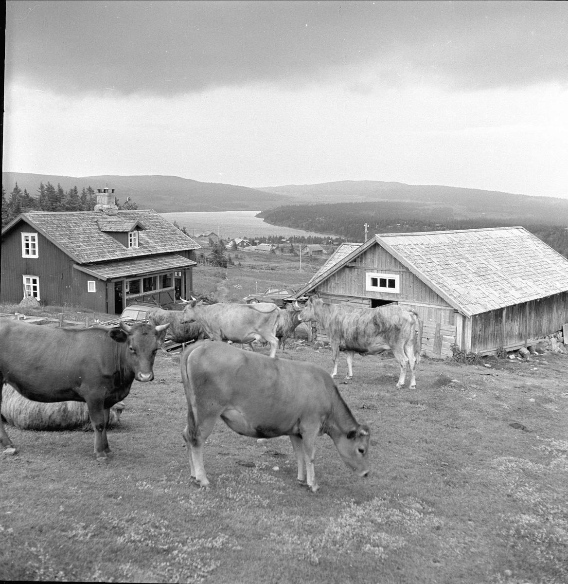 Sjusjøen, Ringsaker, Hedmark, juli 1954. Fjellandskap med seter og kuer.