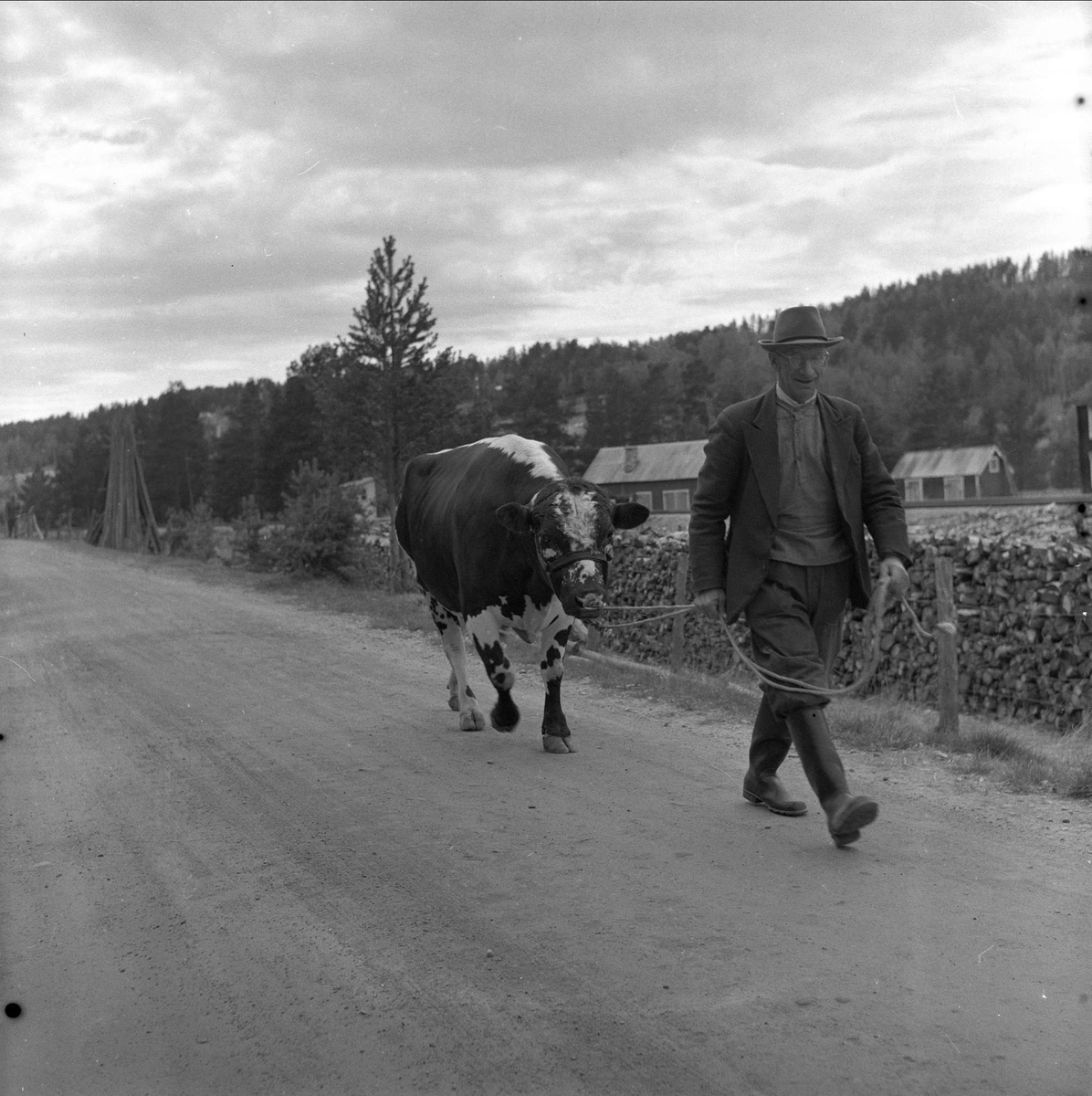 Tolga, Hedmark, 14.08.1958. Fesjå. Mann med ku.